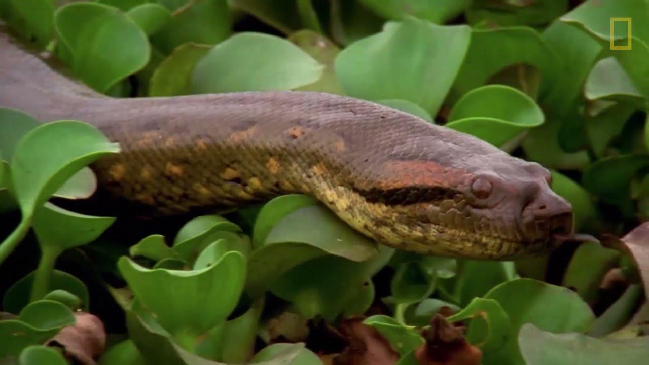Una anaconda devora a una enorme presa | NATIONAL GEOGRAPHIC ESPAÑA
