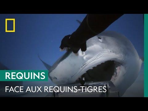 Images impressionnantes d'un plongeur face des requins-tigres