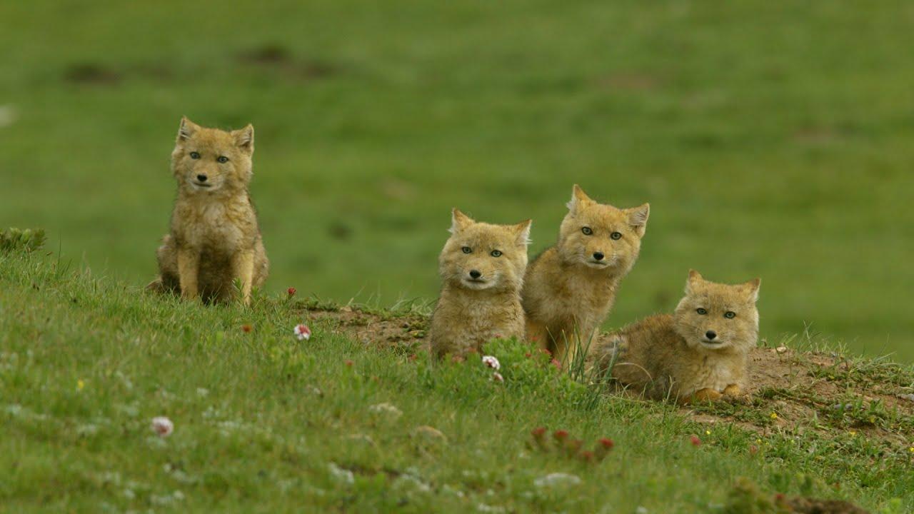 Los zorros tibetanos chinos | NATIONAL GEOGRAPHIC ESPAÑA