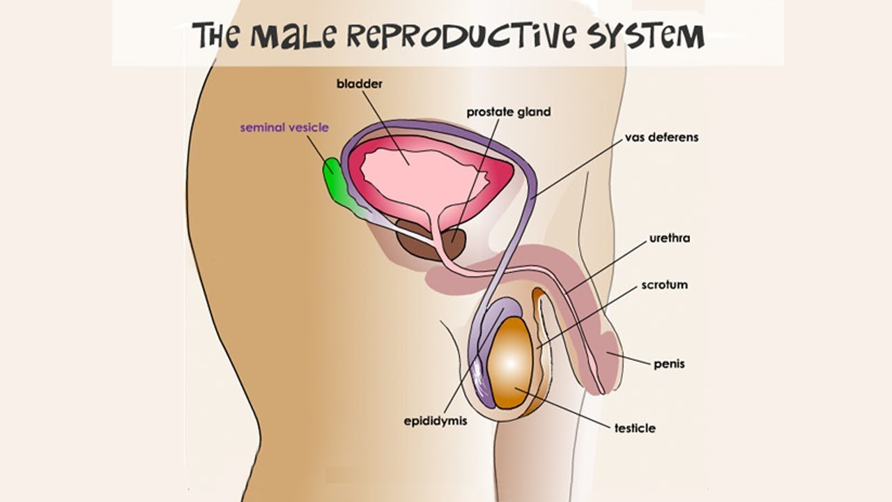 State Board | 10th Class Biology | Biology - Male Reproductive System | 10th New Syllabus |